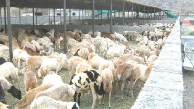 الزراعة تنفذ مشروعا لتطوير الثروة الحيوانية