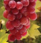 العنب الأحمر يساعد بفاعلية على حرق الدهون