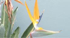 عصفور الجنة من نباتات الزينة