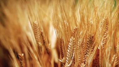 ميسان: زراعة 400 ألف دونم من الحنطة والشعير
