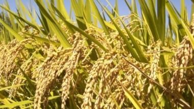 «التجارة» توزّع 77 % من مستحقات مزارعي الموصل