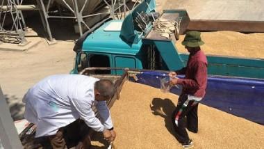 «الحبوب» تسعى إلى تقديم خططها استعدادا لموسم تسويق الحنطة