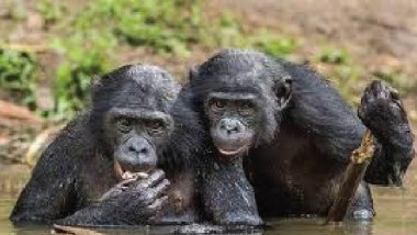 الشمبانزي يتجنّب زواج الأقارب