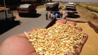 «التجارة»: 1.1 مليون طن كميات الحنطة المسوّقة