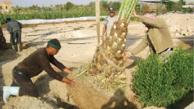 وزير الزراعة يحذّر من آفة خطيرة تهدد بالقضاء على نخيل العراق