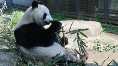 أنثى باندا تضع مولوداً بعد انتظار خمسة أعوام