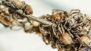 أنثى عنكبوت تقدم جسدها كوجبة خفيفة لصغارها