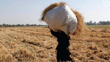 التجارة تشرف ميدانيا على متابعة تسويق الشلب للموسم الحالي