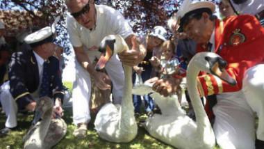 الجمعية الملكية لمكافحة قتل الحيوانات تبحث عن قاتل البجع