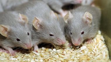 الفئران.. البعض يقدّسونها وآخرون يصارعونها بالكلاب