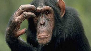القردة تبدي اهتماماً بالشخصيات المهيمنة