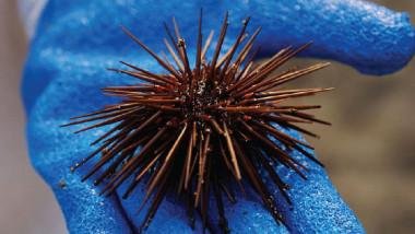 دواء مستخلص من قنافذ البحر للحد من أمراض الشيخوخة