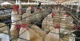 صحة الرصافة تنفي تسجيل إصابات بإنفلونزا الطيور