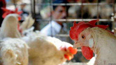 """""""الزراعة"""" تسيطر على البؤر المرضية لانفلونزا الطيور"""