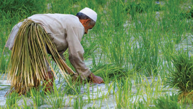 الزراعة تقلّص إنتاجها من الرز