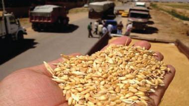 «الحبوب» تباشر بتسلّم الحنطة المحلية من مسوقي المحافظات