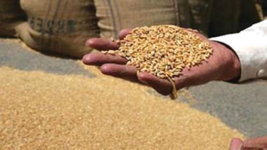 التجارة: 200 طن كمية الحنطة المحلية المستلمة