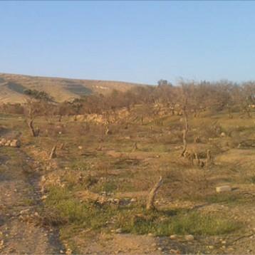 300 ألف شجرة زيتون تحتضر في نينوى