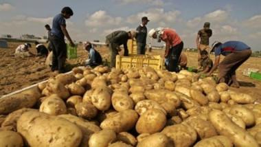 السلطات الروسية ترفع الحظر عن استيراد البطاطا المصرية