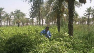 البصرة تعزو «انتكاسة» الزراعة الى تفاقم الملوحة وتوسع القطاع النفطي