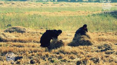 «العنبر» العراقي كنز زراعي ضحية الجفاف