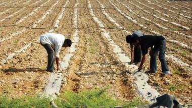 الزراعة: خفض مساحة الأراضي المزروعة بالقمح والشعير إلى النصف