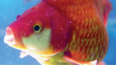 أغلى سمكة في العالم