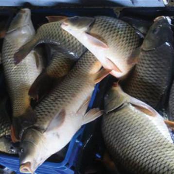العراق يحقق الاكتفاء الذاتي بنسبة 100 % من الاسماك