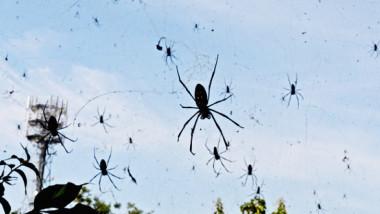 عندما تمطر السماء عناكب !