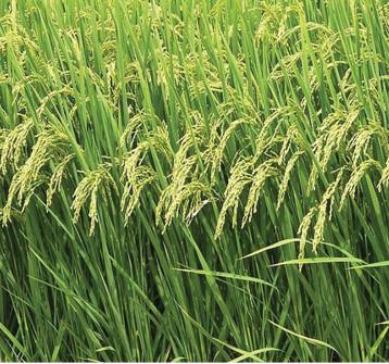 وزير الزراعة يؤكد زراعة كامل مساحات محصول الشلب للموسم المقبل