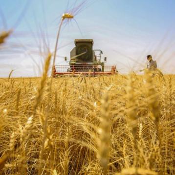 الزراعة: تسويق أكثر من 27 إلف طنا من الحنطة والشعير في كربلاء