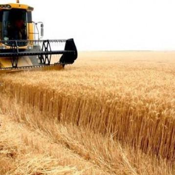 التجارة تشتري 1.5 مليون طن من القمح المحلي