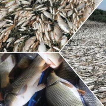 تسميم ونفوق مئات الاطنان من الاسماك قرب الديوانية ونائب يحمل الداخلية المسؤولية